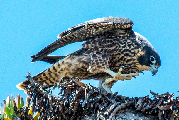 Falcon in nest with one foot up
