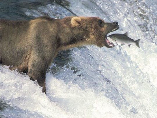 Fish jumping into mouth of grizzly bear