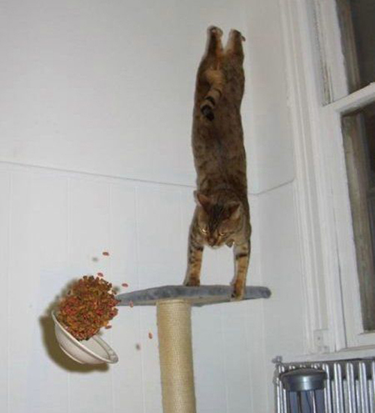 Cat doing handstand on table