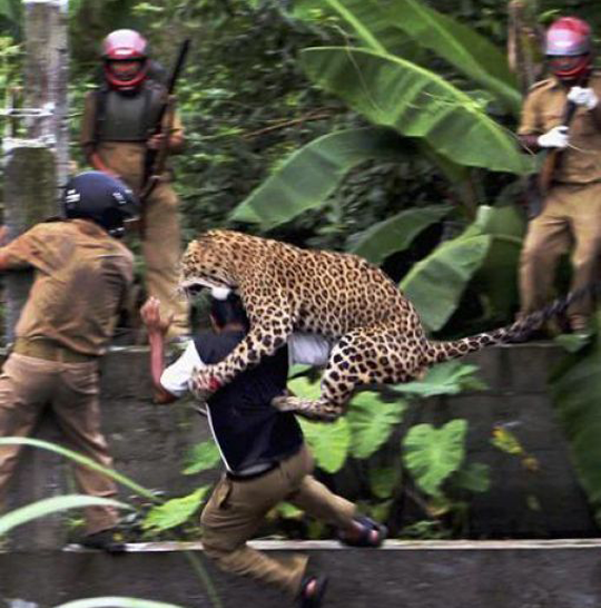 Leopard attacking a man