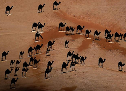 Overhead photo of camels