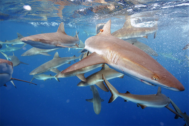 pacific sharks