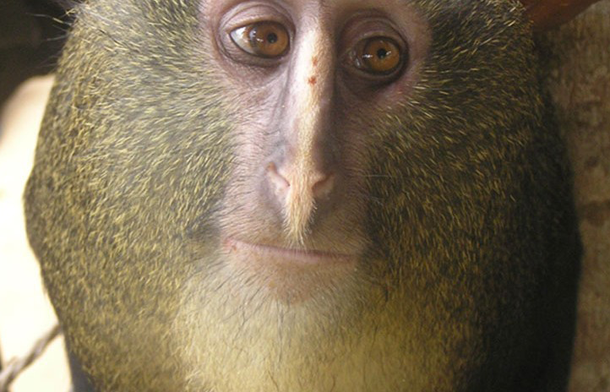 First New Monkey in 28 Years Discovered in the Congo