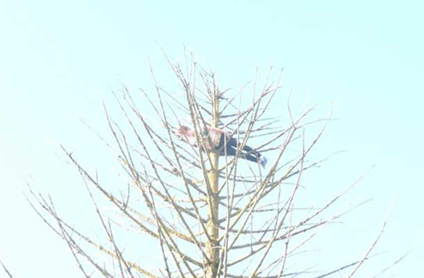 planking in a tree