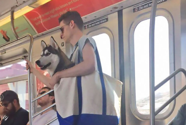 man holds large husky dog in canvas tote