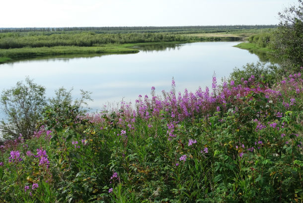 Mackenzie river with purple flowers in the foreground and grassy banks in the background