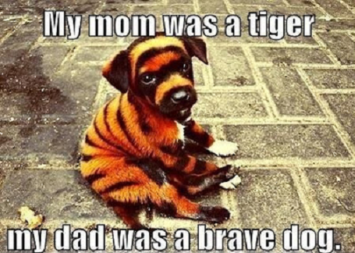 Image of puppy dog colored like a tiger with words saying my mom was a tiger my dad was a brave dog