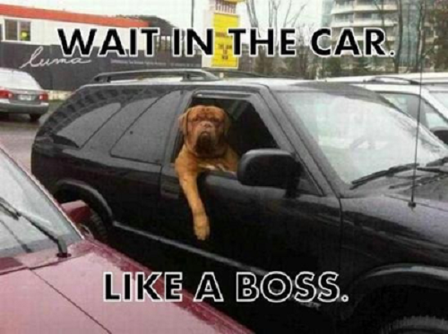 Image of dog in car with words saying wait in the car like a boss
