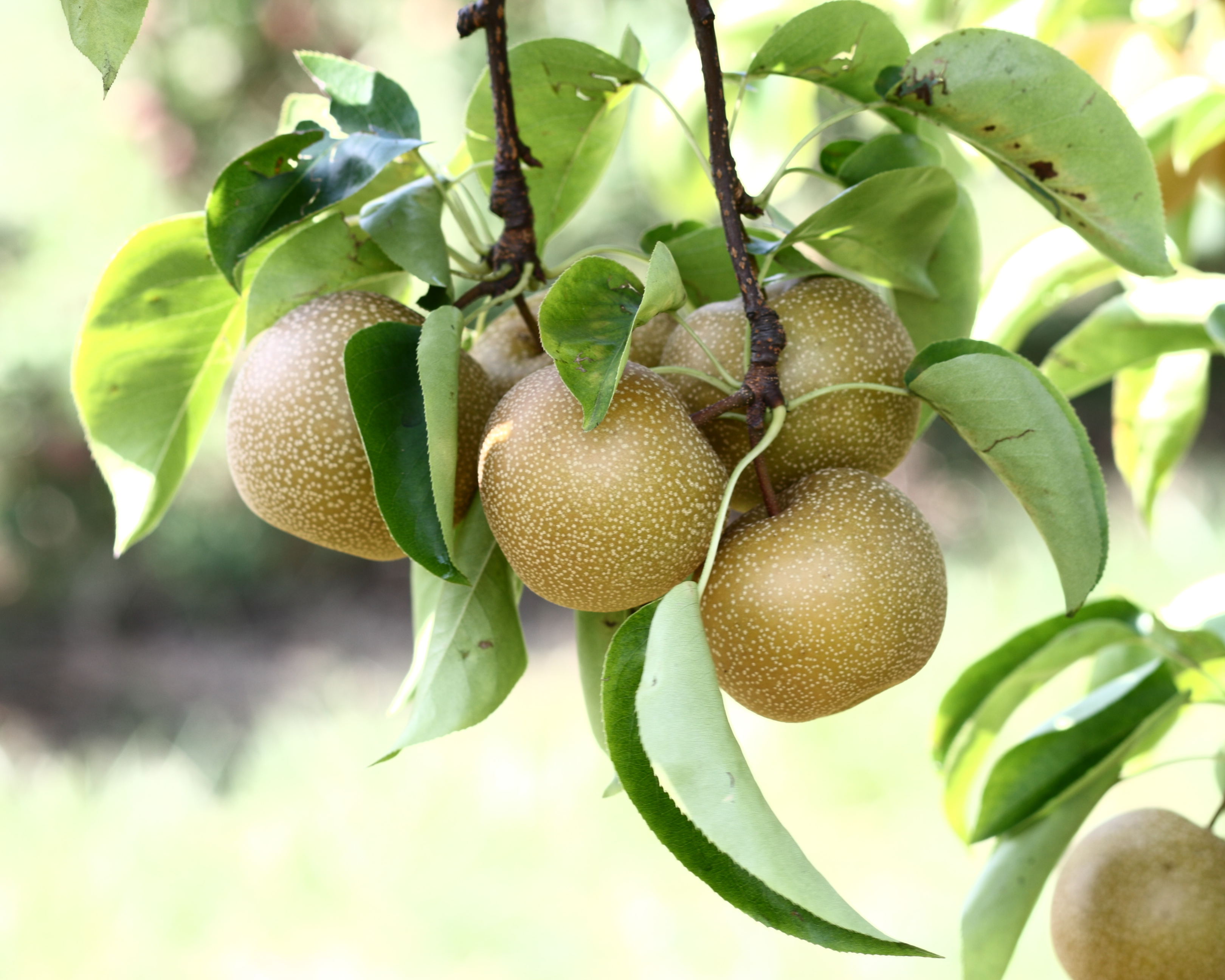 Hosui_Asian_pears_at_Lyman_Orchards,_2009-08-30