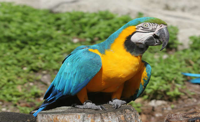 Blue-and-yellow_Macaw_RWD2