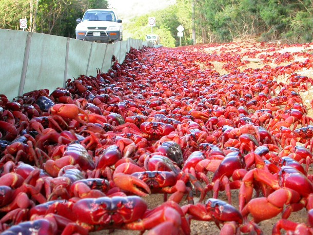 red-crabs2