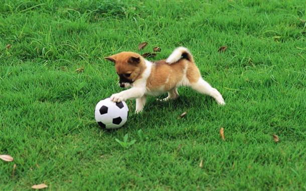 stuffpoint.com 445831-dogs-dog-playing-soccer