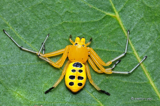 melvynyeo.deviantart.com eight_spotted_crab_spider_by_melvynyeo-d5b6071