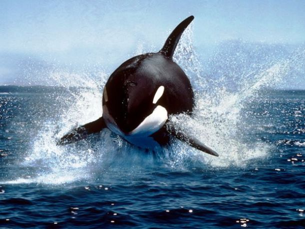 animals.nationalgeographic.com killer-whale_591_600x450