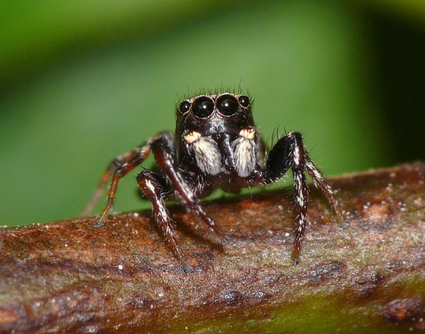 commons.wikimedia.org Jumping-spider