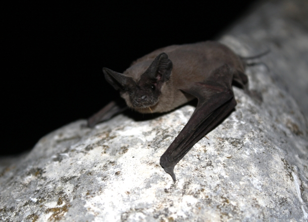 Mexican_free-tailed_bat_(8006856842)