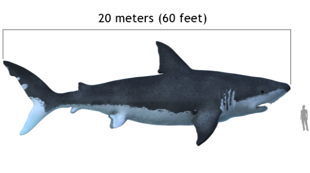 commons.wikimedia.org Carcharodon_megalodon_size_compasison_with_man