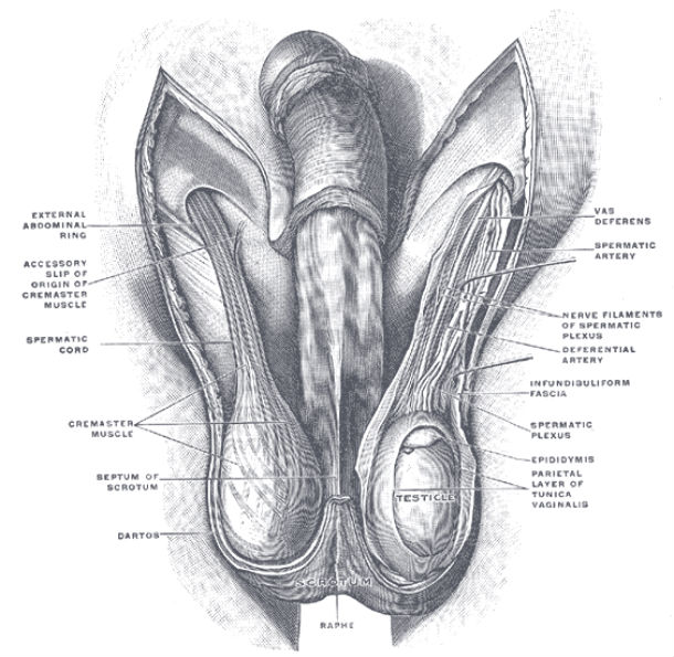 Our Exposed testicles