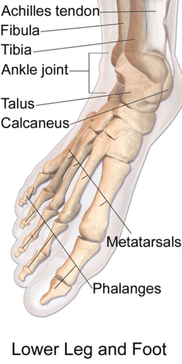 Loads of Unnecessary Bones in Our Feet