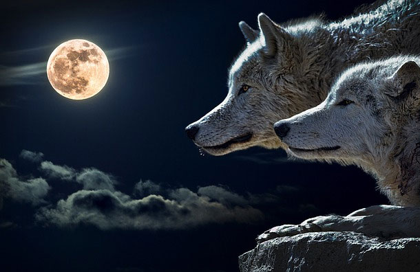 Wolves4