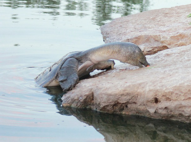 African-Softshell-Turtle-Eating