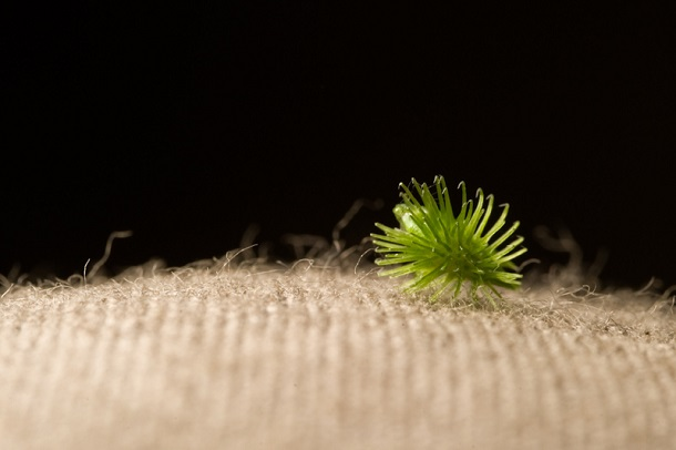 Velcro was inspired from this mammal dispersed seed
