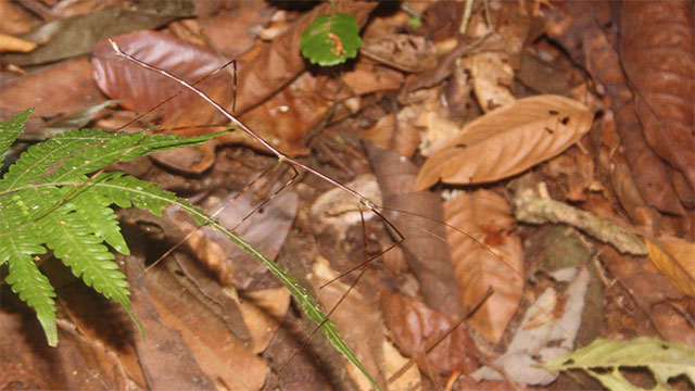 Camouflaged Stick Insect