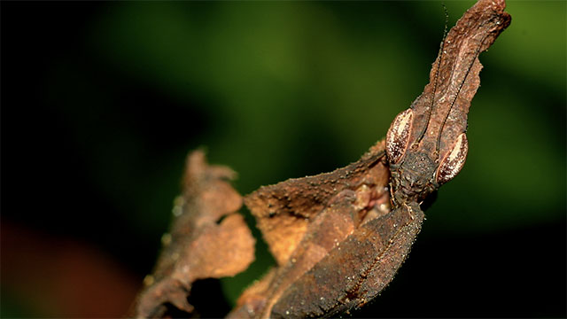 Camouflaged Ghost Mantis