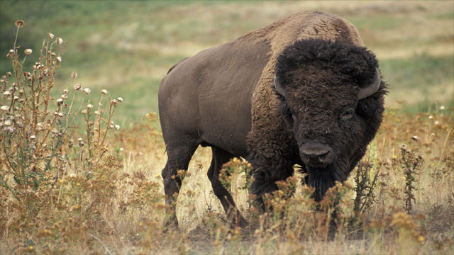 What did the buffalo say to his son when he left for college?