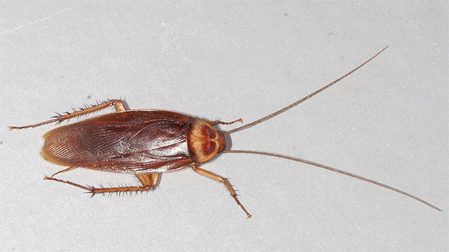 Cockroaches can live for weeks without their heads. They eventually die of starvation.