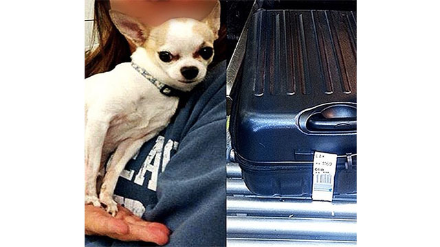 This chihuahua that was found at New York's La Guardia Airport. It had climbed into his owners suitcase while she was packing for her trip without her knowing.