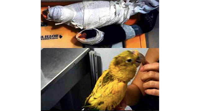 These two birds that were found wrapped in socks and taped to a woman's chest at Los Angeles International Airport (she was arrested for smuggling)