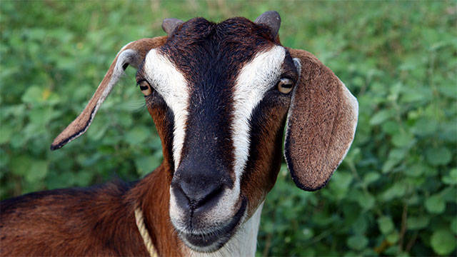 If you though the squirrels were bad, in 2009 Nigerian officials arrest a goat for suspicion of armed robbery