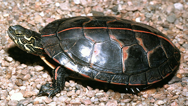 Some turtles are known to breathe through their butts
