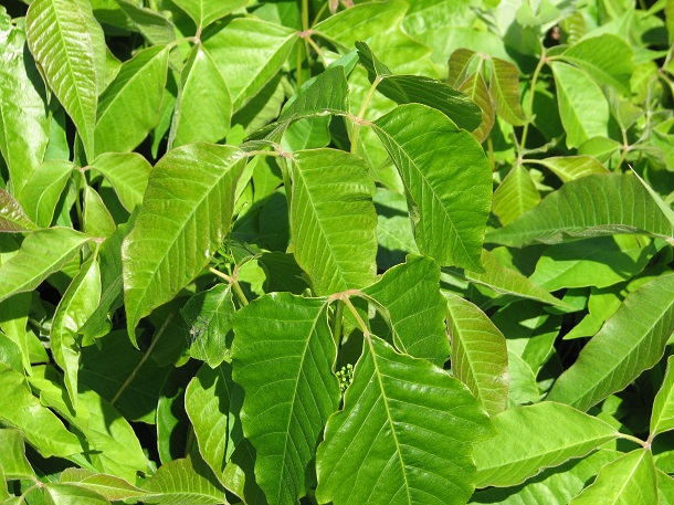 Toxicodendron_radicans,_leaves - poison ivy
