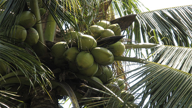 Are falling coconuts dangerous?