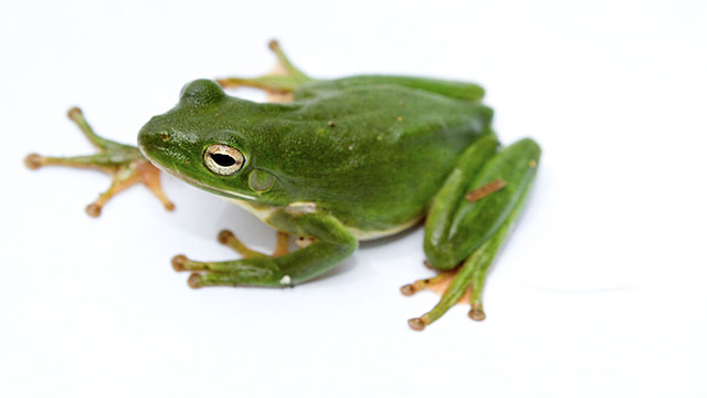 Can magnets levitate a frog?