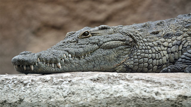Nile crocodiles can go up to two years without eating