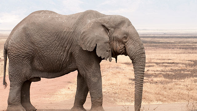 Elephants prefer to us one of their tusks for doing things, much like humans are right or left handed