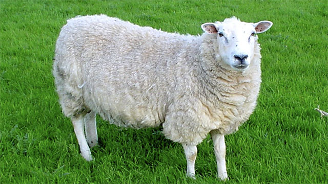 What sort of surfaces are the best for dragging sheep?