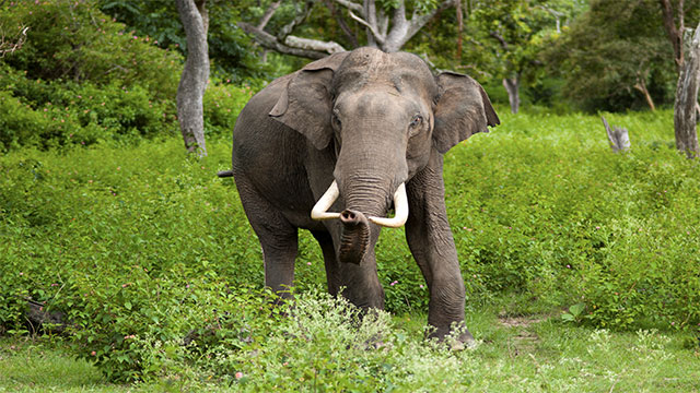 How much surface area does an Indian elephant have?