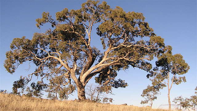 The leaves of eucalyptus trees have been found to contain traces of gold