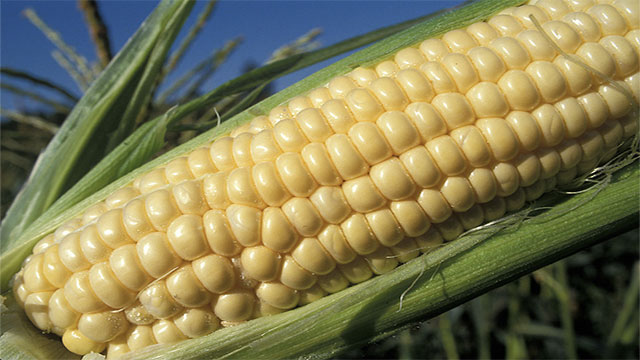 Even if all corn and soybean production in the US was focused at producing biofuel it would only meet about 10% of the fuel demand