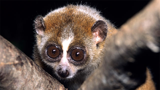 The slow loris is the only venomous primate on Earth. It sucks venom from a patch on its elbow before giving a lethal bite to its victim