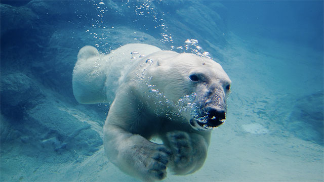 In 1251 the King of Norway gave King Henry III a polar bear. The king kept it on a really long chain in the Tower of London so it could swim in the river