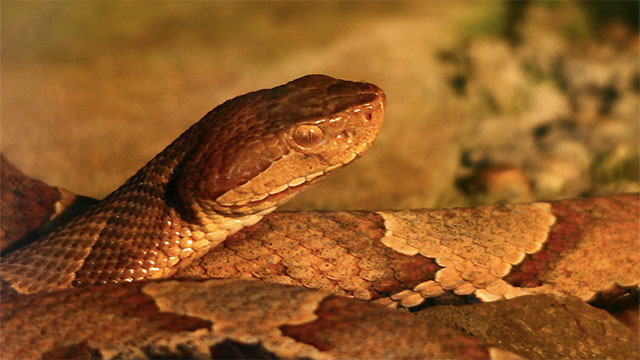 Copperhead venom (one of the most venomous snakes in the US) contains a protein that stops cancer cells from replicating
