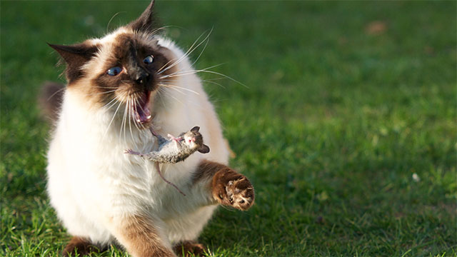 Cats are responsible for the extinction of 33 other species
