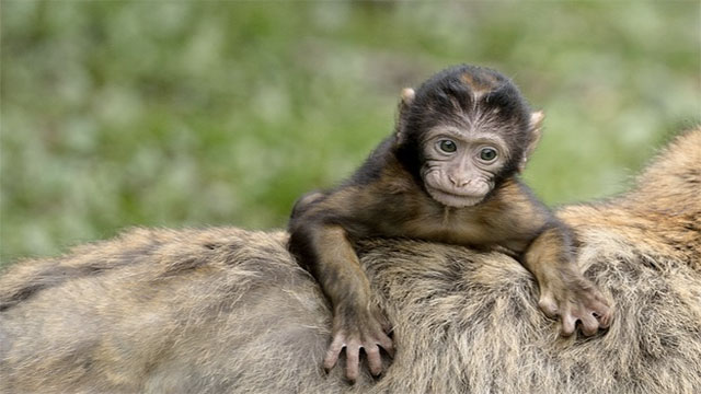 Legend has it that when a French ship ran aground near Hartlepool, UK in the 1800s, the only survivor was a pet monkey. Because Britain was at war with France and the local fisherman didn't know what French soldiers looked like, they questioned the monkey and then hanged it for spying