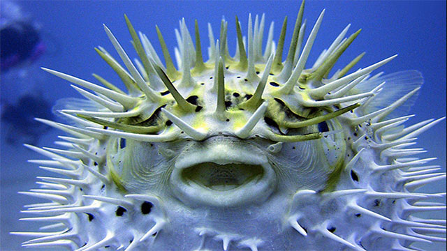 A Japanese chef who wants legal permission to serve puffer fish first needs to eat the puffer fish they have prepared (puffer fish are known for being more poisonous than cyanide)