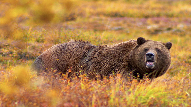 """Admiralty Island in Alaska is half the size of Yellowstone Park but with twice the number of grizzly bears. Early Russian explorers named the island Ostrov Kutsnoi, which translates to """"fear island""""."""